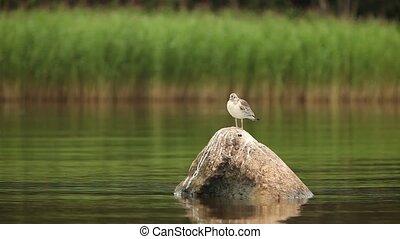 fauna, argentatus), zilverachtig, nestling, zeemeeuw, (larus