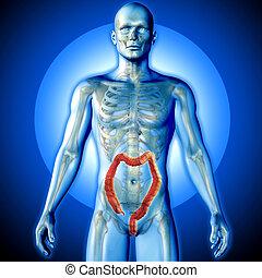 figuur, render, medisch, aangepunt, dubbele punt, mannelijke , beeld, 3d