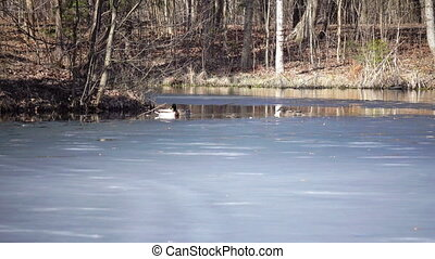 floes, ijs, meer, mannetjeseend, eenden