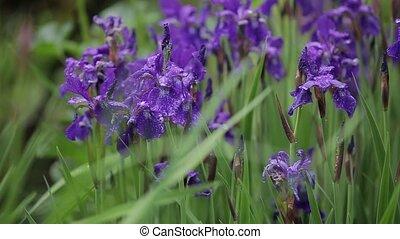 flora, gering, wind., groeien, close-up, bloemen, overzicht., romantische, iris, meisje, winderig, mooi, date., weather., namiddag, aantrekkelijk, fris, zwiepen, viooltje, gras, cadeau, groot