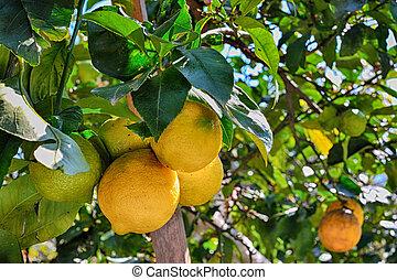 foto, citroen, citroenen, boompje
