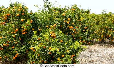 fruit, mandarijn, bomen, sinaasappel, citrus, rijp, boerderij