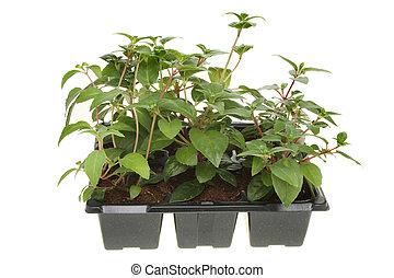 fuscia, seedlings