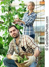 gardeners, breed, oogst, bonen