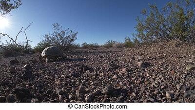 gebrengenene in gevaar, schildpad, -, soort, woestijn