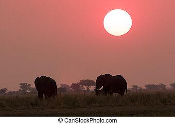 gedurende, ondergaande zon , olifanten