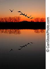 geese, ondergaande zon , canadees