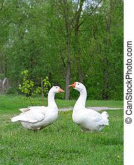 geese, twee