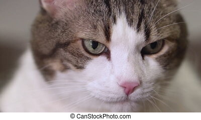 gekke , close-up, vertragen, motion., informatietechnologie, lickens, kat, mond