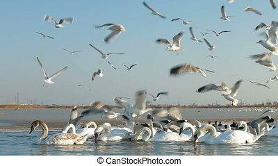 geluid uitschakelen, migreren, zwanen