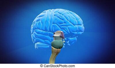 gescheiden, hersenen, onderdelen, -