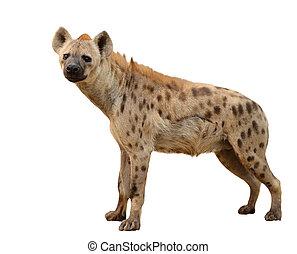gevlekt hyena, vrijstaand