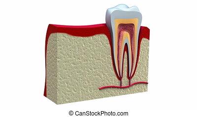 gezonde , anatomie, dentaal, teeth