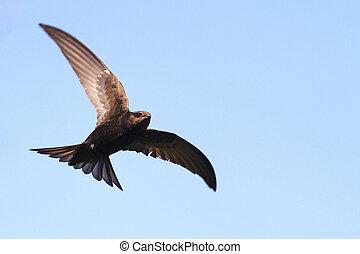 gierzwaluw, vliegen, hemel, algemeen, tegen