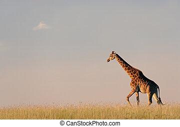 giraffe, afrikaan, prairie