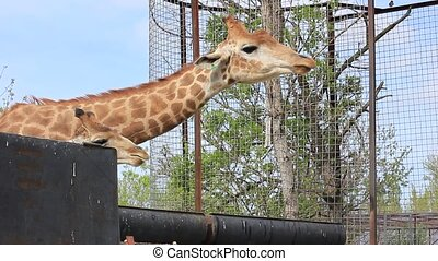 giraffe, eten, gras, afrikaan