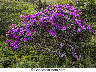 gnarly, rododendron, struik, bloemen, bedekt
