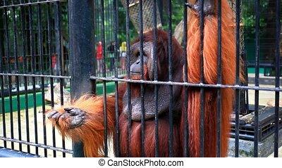 gorilla, op einde, kooi