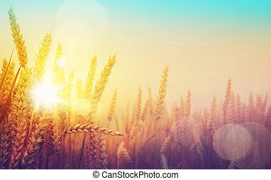 gouden, kunst, zonnig, akker, tarwe, dag