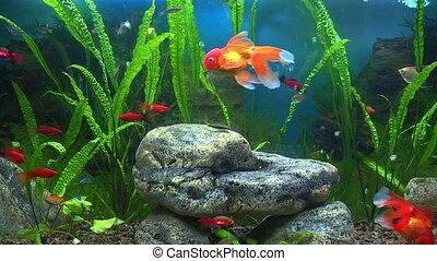 goudvis, aquarium