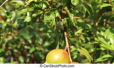 granaatappel, fruit