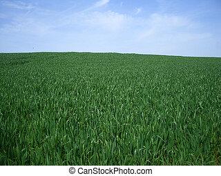 gras, blauw groen, achtergrond, hemel