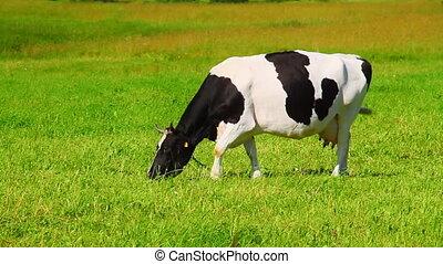 gras, eet, koe
