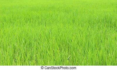 gras, groene, wind