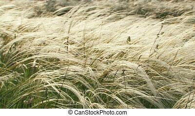gras, het slingeren, wind