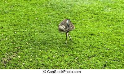gras, struisvogel