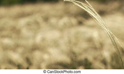 grass., close-up, veer