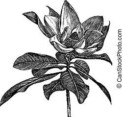 gravure, grandiflora, ouderwetse , magnolia, zuidelijk, of