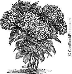 gravure, macrophylla, bigleaf, hortensia, ouderwetse , of