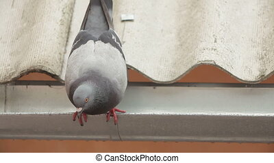 grijs, close-up, pigeon.