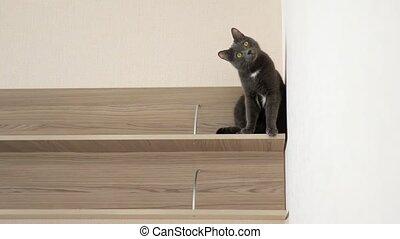 grijs, plank, speels, kat zitten