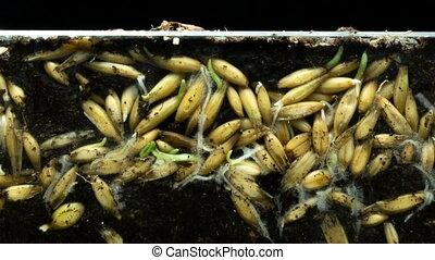groei, wrakkigheid, oorsprong, ontwikkeling, wortels, life., hun, concept, planten, tijd, grond, haver, graankorrel