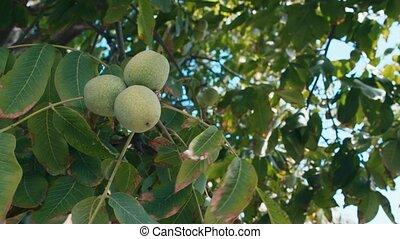 groeiende, groen boom, walnoten