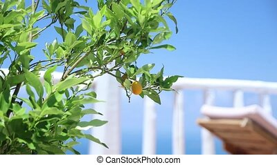 groeiende, groene, buiten, citroenboom