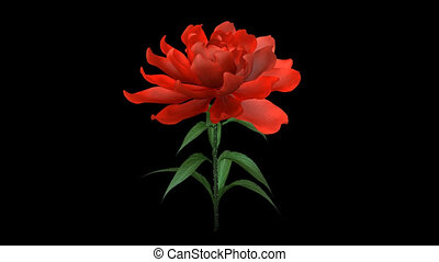 groeiende, roos, bloem, chan, alfa