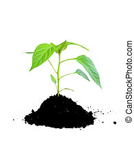 groeiende, terrein, plant, groene