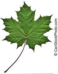 groen blad, esdoorn