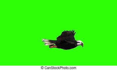 groene, adelaar, bovenkant, kaal, aanzicht, scherm