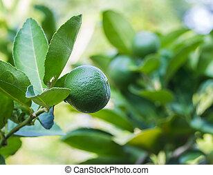 groene, citroenboom