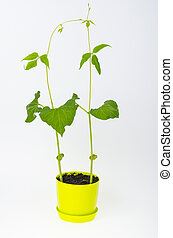 groene, jonge, pot., boon, studio, spruiten, foto