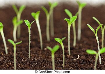 groene, kiemplant