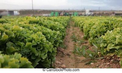 groene, nee, rijen, sla, mensen, oogsten, tuin