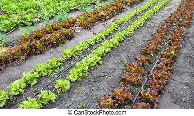 groene, oogsten, nee, rijen, mensen, tuin, sla
