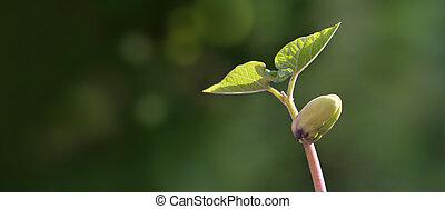 groene, spruit, defocused, groeiende, achtergrond, afsluiten, boon