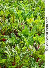 groente, groeiende, biet, tuin