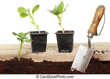 groente, seedlings